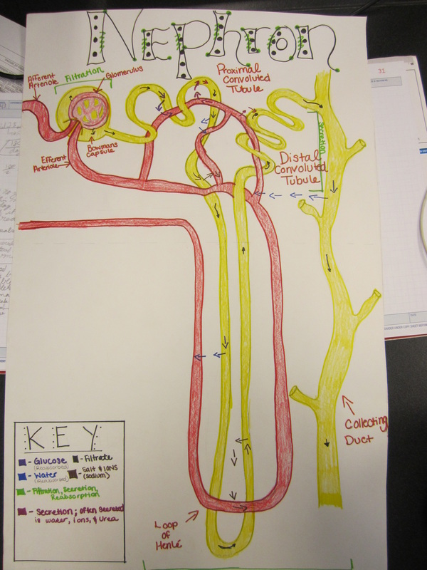 Nephron poster pltw biomedical science ats ccuart Image collections